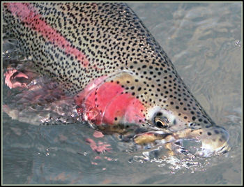 Kenai River Rainbow Mystic Waters Fly Fishing Alaska