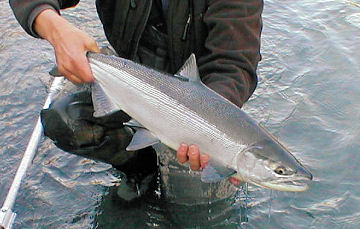 June Sockeye (Red) Salmon from the Upper Kenai River Alaska